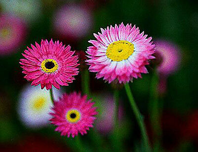 Paper Daisy - Everlasting - 200 SEEDS Helipterum Roseum - Giant Flowered Mixture • 1.10£