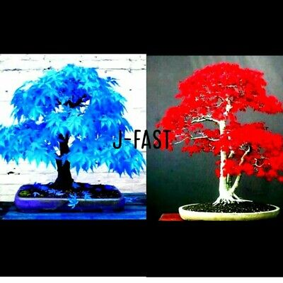 5 Seeds Japanese Maple Tree Sky Blue And 5 Seeds Red Maple Plant For Home Garden • 2.15£