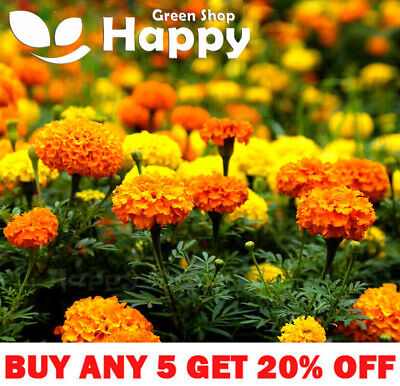 AFRICAN MARIGOLD - CRACKERJACK MIX - 300 Seeds - Tagetes Erecta - ANNUAL FLOWER • 1.10£