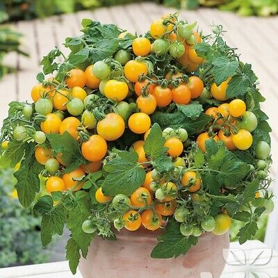 25 Gold Nugget Tomato Seeds • 1.89£