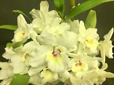 AU17.49 • Buy  Softcane Orchid Dendrobium Beautiful Egg X Beno Komachi  Tibro  - One Only