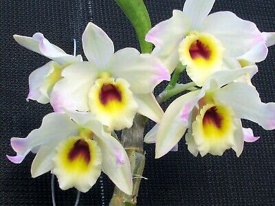 AU13 • Buy  Beautiful Softcane Orchid Dendrobium Buderim Cream