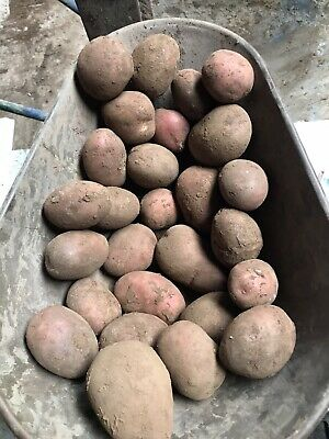 1.8kg Rooster Potato Seed Approx 20 Red This Year Big Potatoes Chippers Yellow • 8.80£