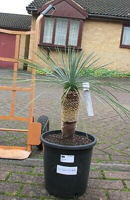 Yucca Linearifolia Ssp Galeana Very Rare In Cultivation Hardy UK Established. • 110£