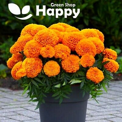AFRICAN MARIGOLD - TALL F1 ORANGE - 15 Seeds - Natural Pigment Production  • 1.30£