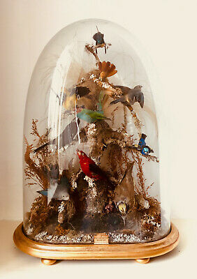 £825 • Buy Victorian Taxidermy Glass Dome With 10 Species Of Exotic Birds - Superb Example