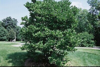$14.99 • Buy Royal Star Magnolia Tree 16 To 24 Inches Live Plants