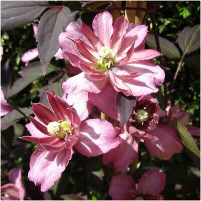 £14.99 • Buy Clematis Montana 'Marjorie' X 3 Large Plug Plants For Potting On