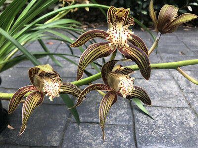 AU80 • Buy Beautiful Cymbidium Orchid Plant W/ Approx 5 Bulbs & 2 Long Flowering Spikes
