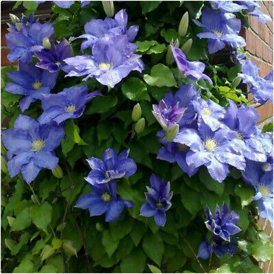 £14.99 • Buy Clematis 'Rhapsody' X 3 Large Plug Plants For Potting On