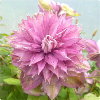 £14.99 • Buy  Clematis Hybrid 'Proteus' X 3 Large Plug Plants For Potting On