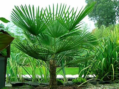 £13.30 • Buy Hardy Chinese Windmill Palm Tree Tropical Garden Outdoor Evergreen