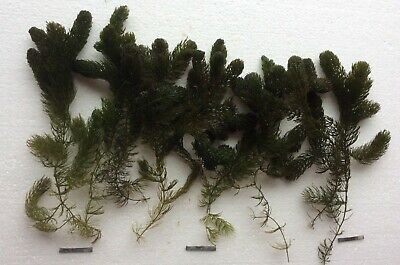 £5.60 • Buy 6 X LONG STRANDS HORNWORT OXYGENATING POND/AQUARIUM PLANT WITH WEIGHTS