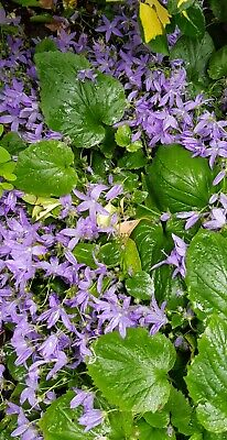 £3.50 • Buy Campanula Poscharskyana - Trailing Bellflower  Clump Forming. With Blue Flowers.