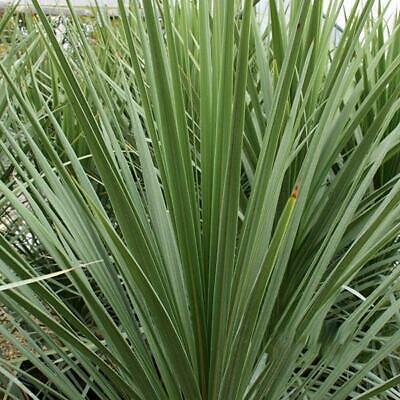 £12.99 • Buy 2 X Cordyline Australis Tree Palm For Gardens And Patio Pots - Arrive In 9c Pots