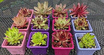 £12 • Buy 12 Mixed Varieties Of Sempervivum( Hen And Chicks) Plants In Colourful 7cm Pots