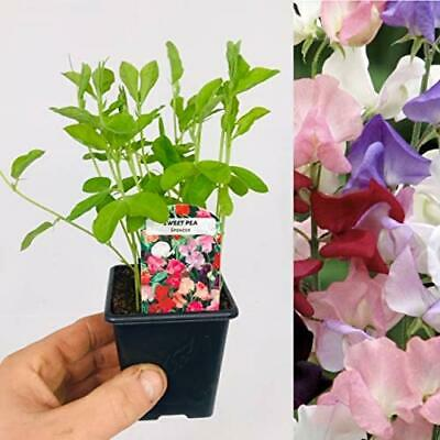 £11.99 • Buy Sweet Pea Plants Mix - 3 X 9cm Pots With Growing Plants (Not Seeds)