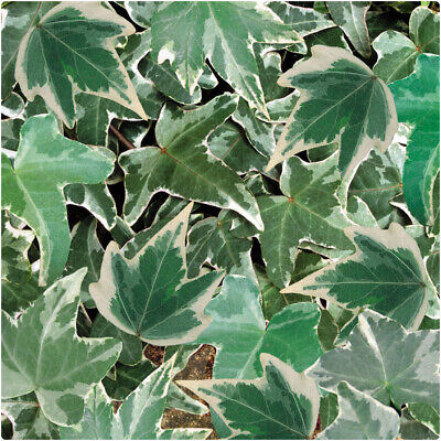 £9.99 • Buy Hedera Helix 'Silver' Large Plug Plants X 3 Trailing Ivy Hardy Perennial
