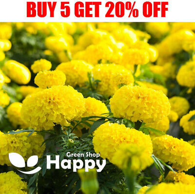£1.10 • Buy AFRICAN MARIGOLD - MARY HELEN - 300 Seeds - Tagetes Erecta - Large Double Flower