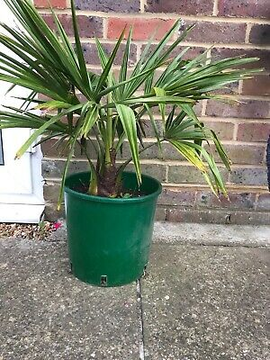 £25 • Buy Trachycarpus Fortunei Palm Tree 70cm Including Pot Grown Outside From Seed