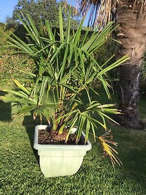 £50 • Buy Trachycarpus Fortunei Palm Tree 110cm Including pot, Grown Outside From Seed
