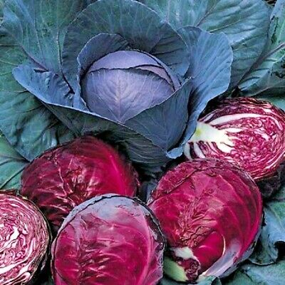 £0.99 • Buy Vegetable Cabbage Red Drumhead  Appx 1000 Seeds
