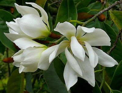 $4.50 • Buy Michelia Excelsa Tree, The Temple Magnolia Doltsopa 10 Seeds, Very Fragrant