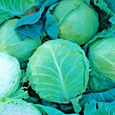 £0.99 • Buy Vegetable Cabbage Holland Late Winter Approx 600 Seeds