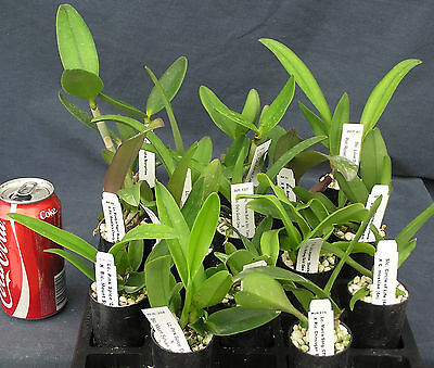 AU60 • Buy RON. Quality Cattleya Special 5 Pack Inc P&P
