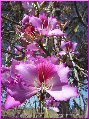 AU3.50 • Buy Deep Pink Orchid Tree, 20+ Fresh Seeds