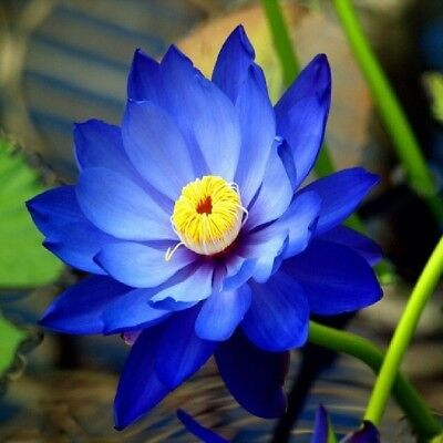 $ CDN2.96 • Buy 5pcs Blue Lotus Seeds Aquatic Plants Water Lilly Nice Fragrance  Outdoor Ponds
