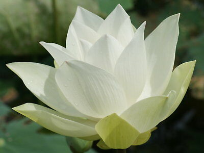$ CDN5 • Buy 5pcs White Lotus Seeds Snow White Aquatic Plants Water Lilly Nice Fragrance