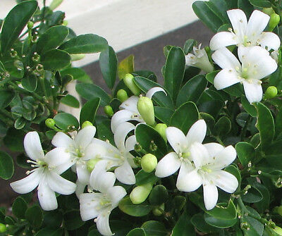 $2.95 • Buy Orange Jasmine-Honey Bush Fragrance Flower Plant For Home Garden Courtyard Grow