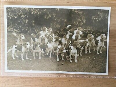 £10 • Buy Real Photographic Postcard. Pack Of Beagle Hounds. Hunting.