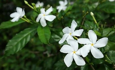 $7.99 • Buy Tabernaemontana Divaricate Crepe Jasmine Seeds Attracts Butterflies Aromatic