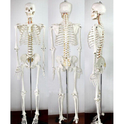 $196.46 • Buy Medical School Human Skeleton Anatomical Anatomy Model With Rolling Stand New