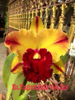 AU11 • Buy RON.Cattleya Orchid. Rlc. Yingluck Smile 'Red Line' - Quality Mericlone