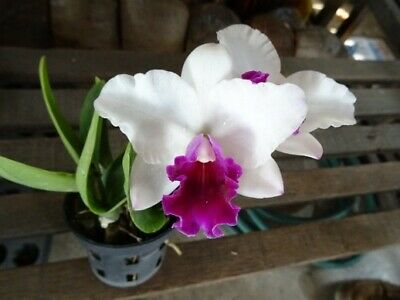 AU11 • Buy RON.Cattleya Orchid. Rlc. Mayor Yamasaki 'Gem' - Quality Mericlone