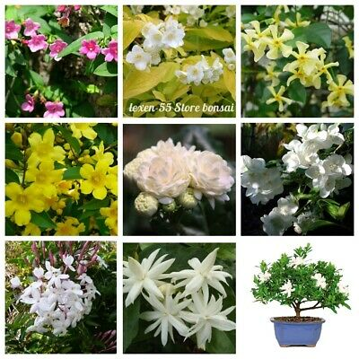 $1.99 • Buy 50Pc Jasmine Shrub Seeds Rare 30 Kinds Beautiful Potted And Garden Plants Bonsai