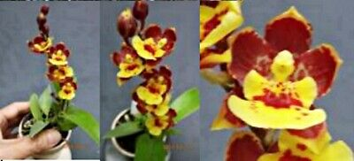 AU11 • Buy RON Oncidium Orchid Pasr. Chian-Tzy Lovely 'CT-Goldmine' FLOWERING SIZE