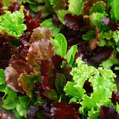 £1.89 • Buy Lettuce Baby Leaf Mixed  1000 Premium Seeds And A Packet 200 Salad Rocket Seeds