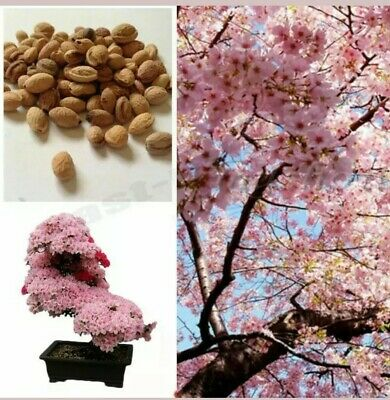 Cherry Blossom Tree, Japanese Sakura Fower, Beautiful Pink, 10 Seeds UK SELLER • 4.76£