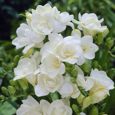 $1.20 • Buy 200 Jasmine Flower Seeds Mixed Perennial Fragrant Plant White Shrub Gracious
