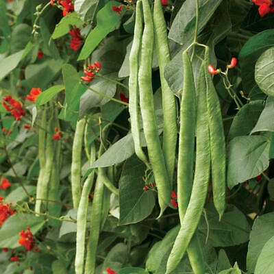 RUNNER BEANS - 60 Scarlet Emperor Seeds  New 2021 Season FREE DELIVERY • 3.49£
