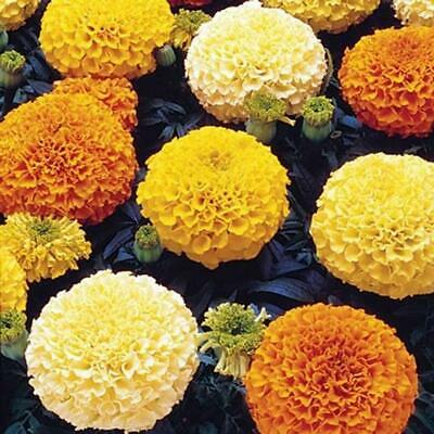 100 Marigold Crackerjack Seeds - Big Large Double Flower Heirloom African Plant  • 1.99£