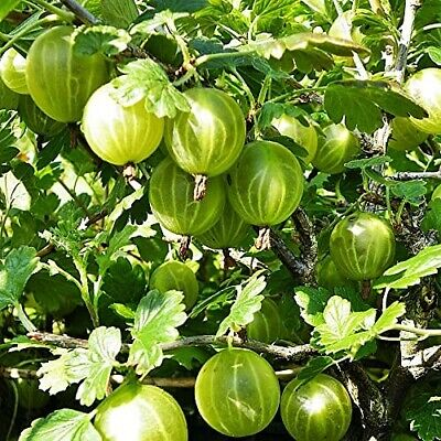 Gooseberry Bush'Hinnonmaki Green' Great Taste Easy To Grow Plant In Pic 2 • 14.50£