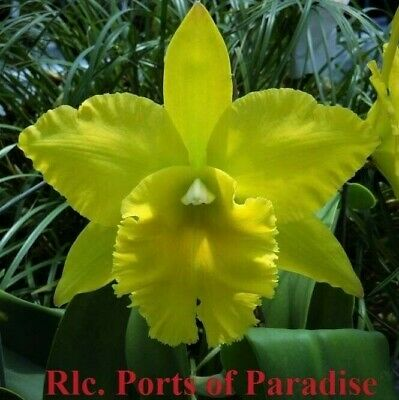 AU12 • Buy  RON.Cattleya Orchid Ports Of Paradise 'Green Ching Hua' AM/AOS Mericlone 50mm