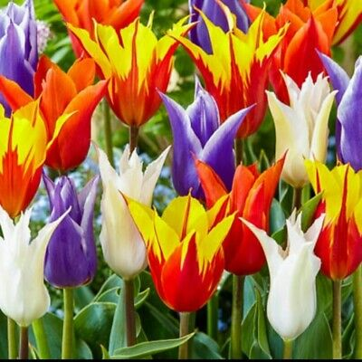 1, 10, 20 And 50 Tulip Lily Flowered Mixed - Fresh Flowering Size Spring Bulbs • 5.49£