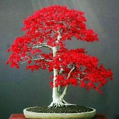 10 Seeds Japanese Red Maple Tree Bonsai Rare Plant For Home Garden • 1.99£