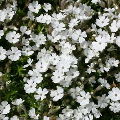 3x Phlox Douglasii Ice Mountain Hardy Perennial Flower Plug Plants Well Rooted • 6.98£
